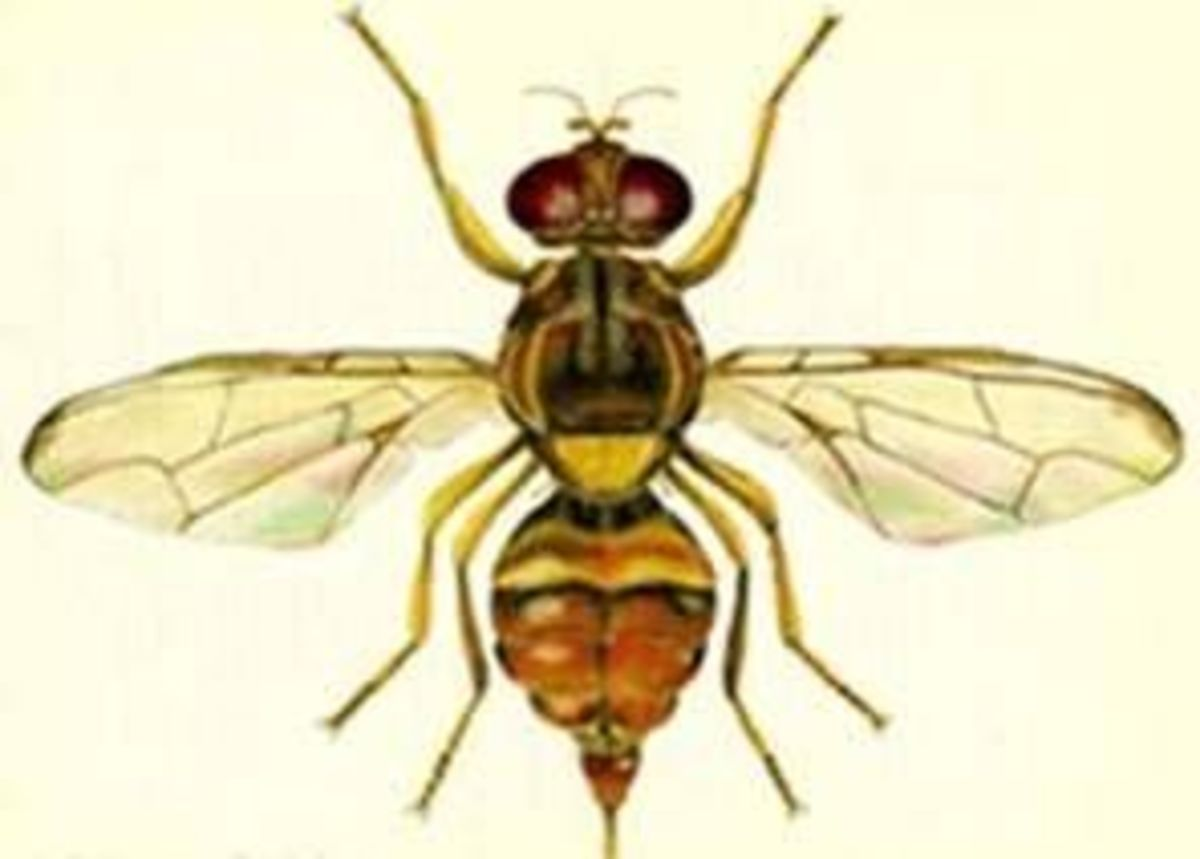 Guava fruit fly.
