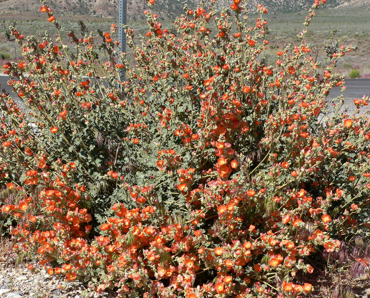 Desert Mallow is a great wildflower that will grow and propagate in your yard, especially if you live in the Southwest.