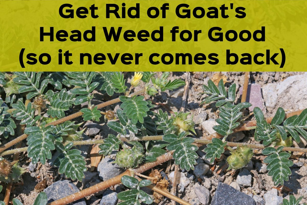 Here's how to get rid of Tribulus terrestris, or goat's head, in your yard.