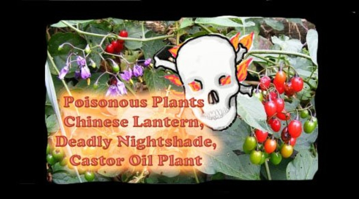Poisonous Plants: Chinese Lantern, Deadly Nightshade and Castor Oil Plant