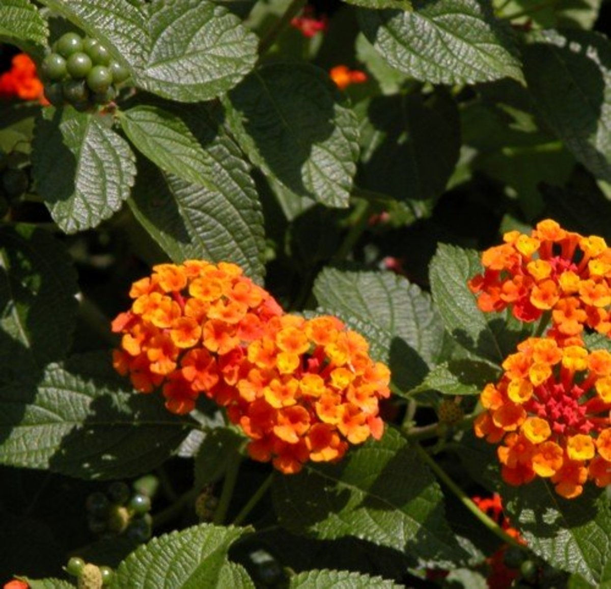 Poisonous Lantana