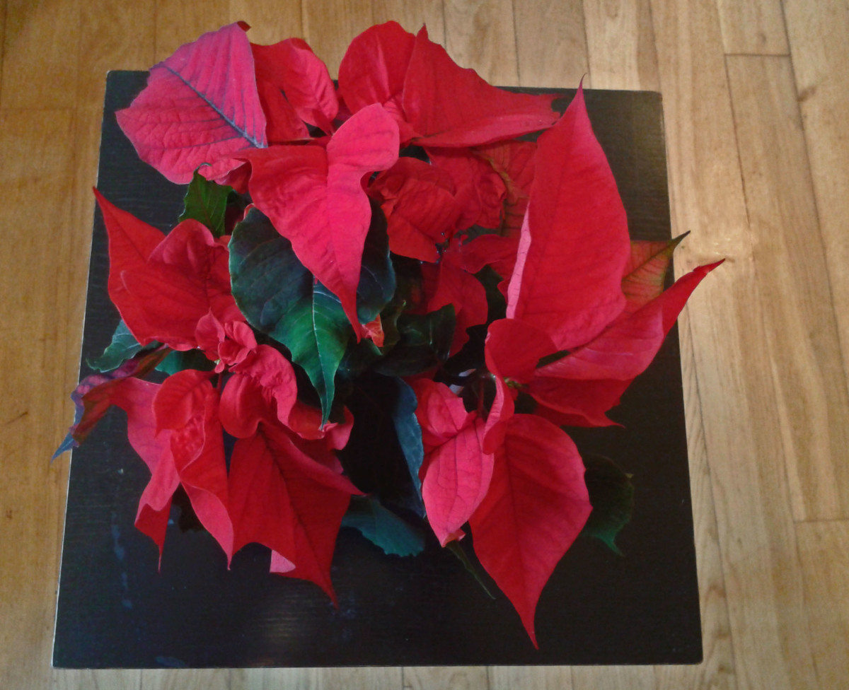 The poinsettia is also a member of the euphorbia family and is poisonous.