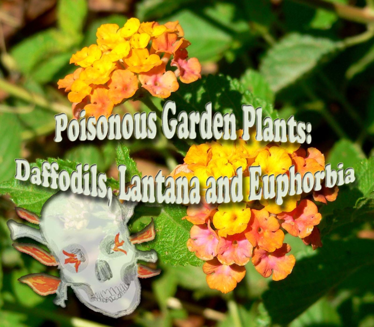 Poisonous Garden Plants: Daffodils, Lantana and Euphorbia