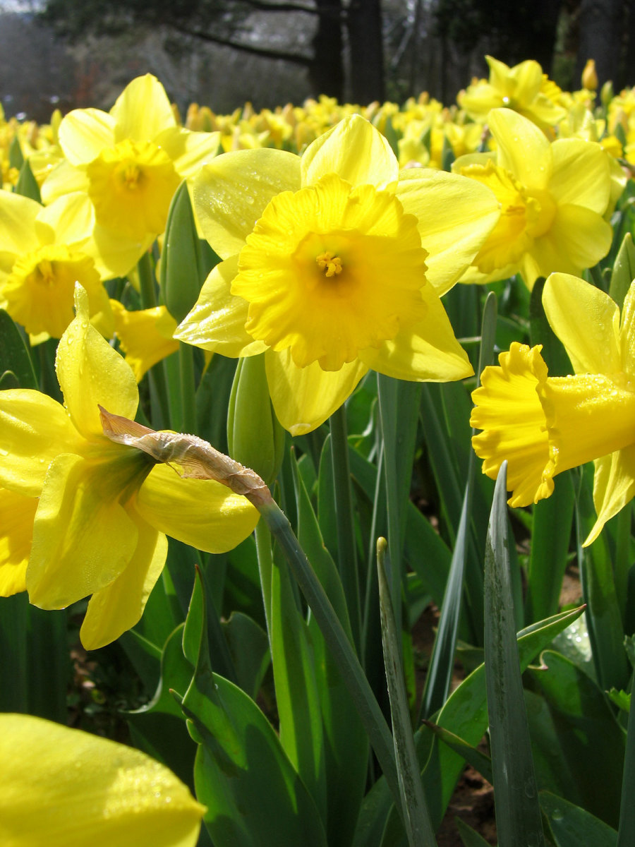 Poisonous Daffodils