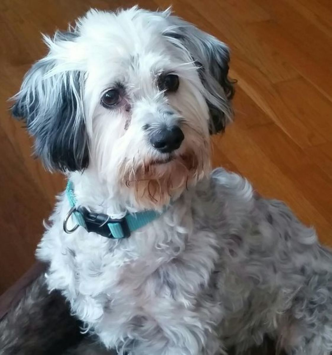 This is my cockapoo, Tucker, who is almost 11 years old in this picture. He turned 15 on January 24, 2021.