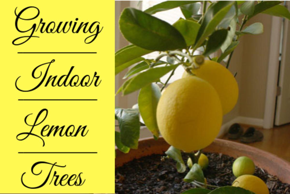 How to Grow Indoor Meyer Lemon Trees