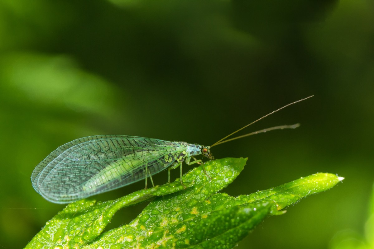 Lacewings are beneficial insects that eat aphids, whiteflies, thrips, and other annoying pests.