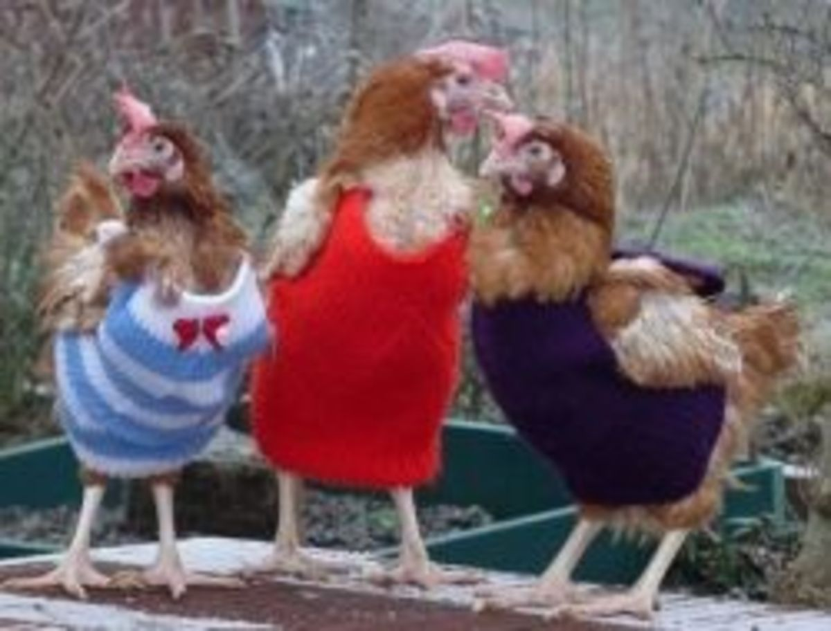 five-reasons-to-knit-chicken-sweaters