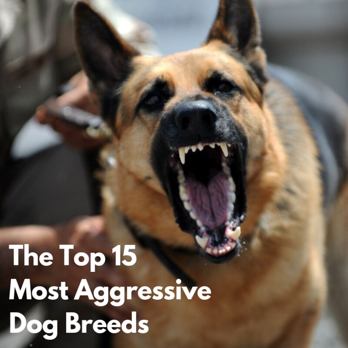 This article will break down 15 of the most aggressive dog breeds around the world and give you a few details about each one.