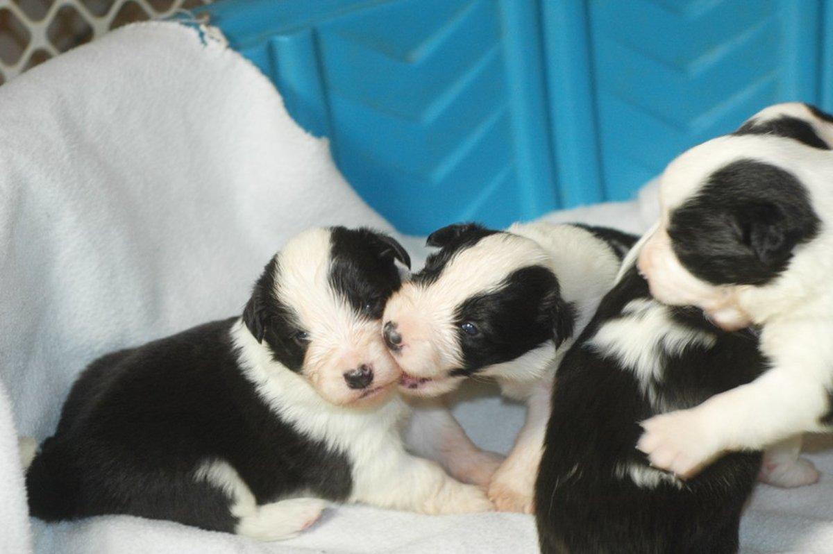 Border Collie Puppies at 3 Weeks