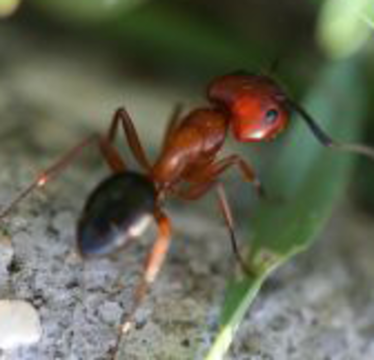 how-to-treat-fire-ant-bites