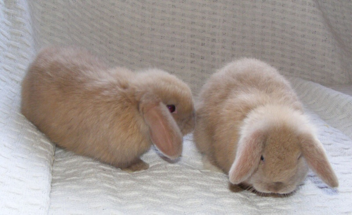 10 Best Pet Rabbit Breeds for Children