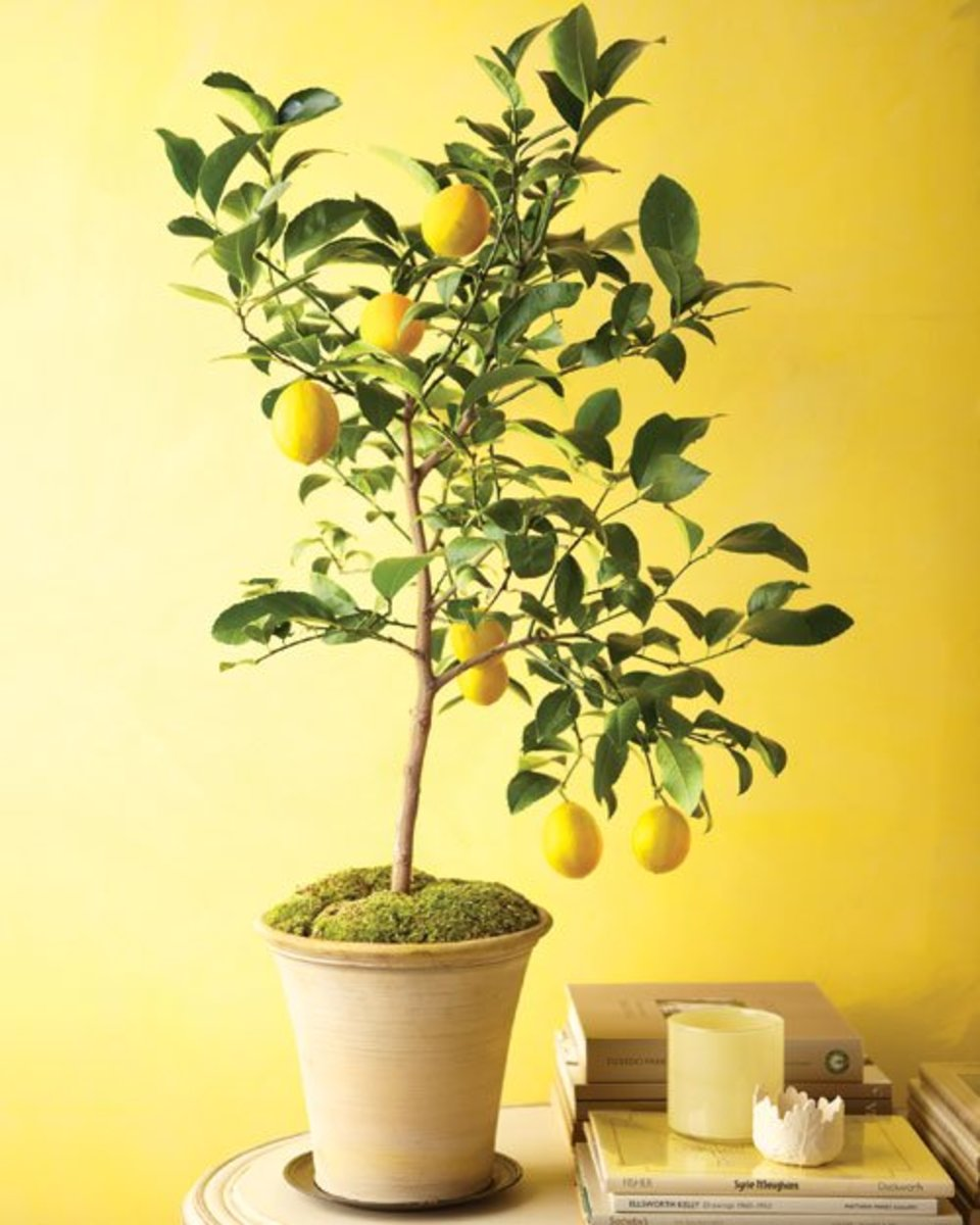 Meyer Lemon Tree - Beautiful and Fragrant!