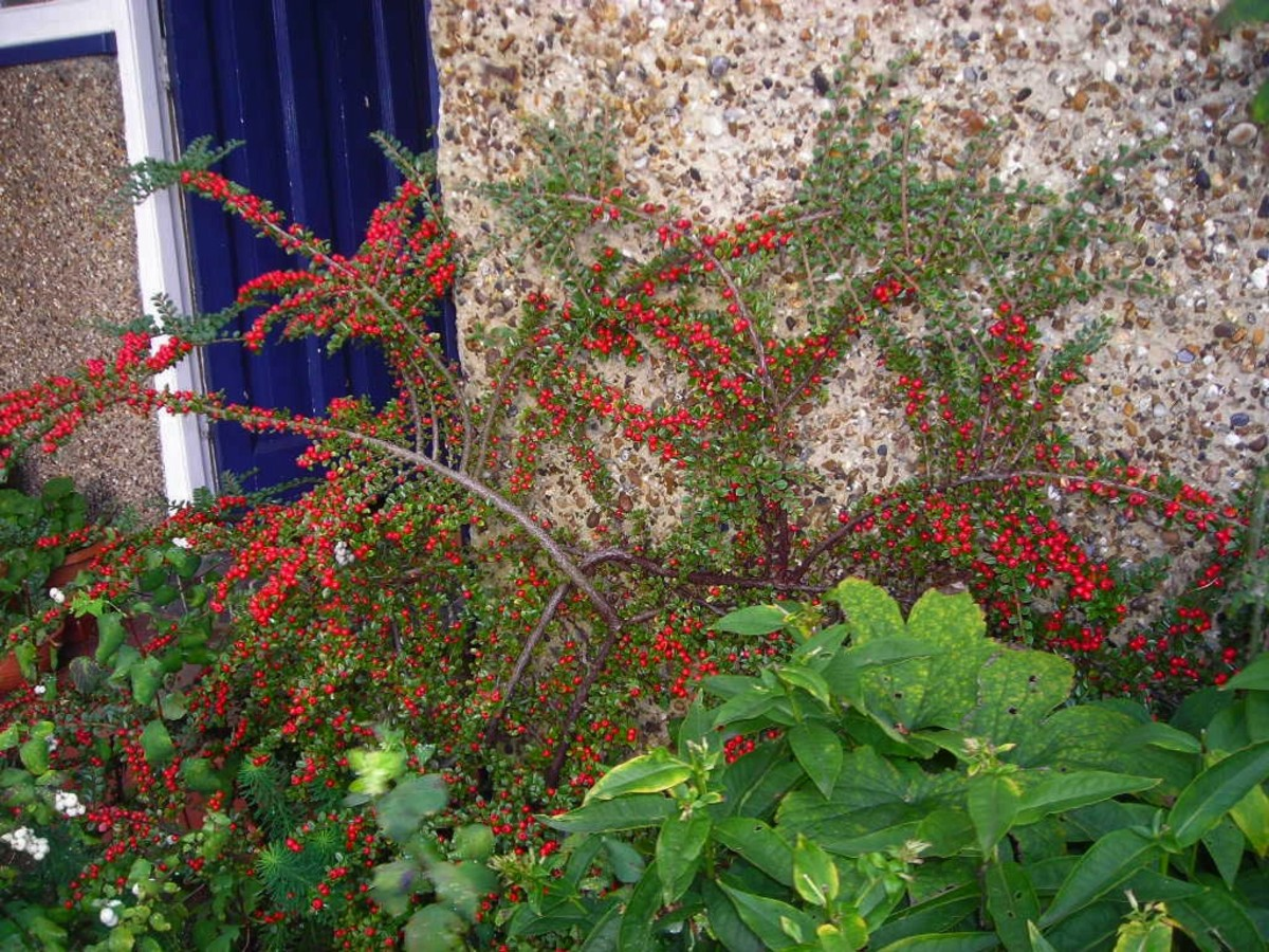 A cotoneaster.