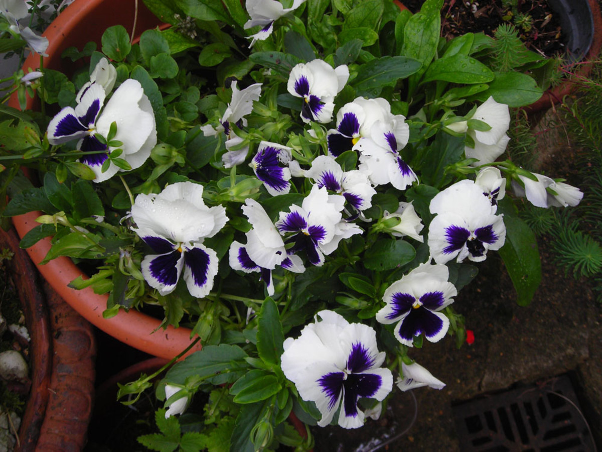 Purple and white pansies.
