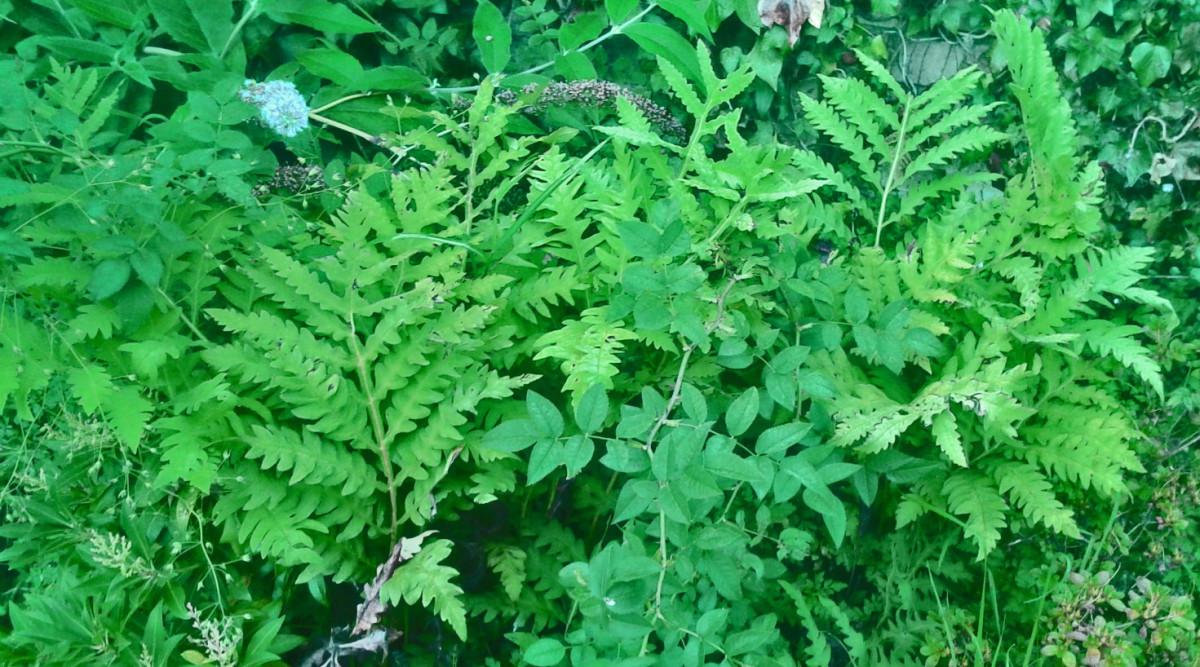 A fern.
