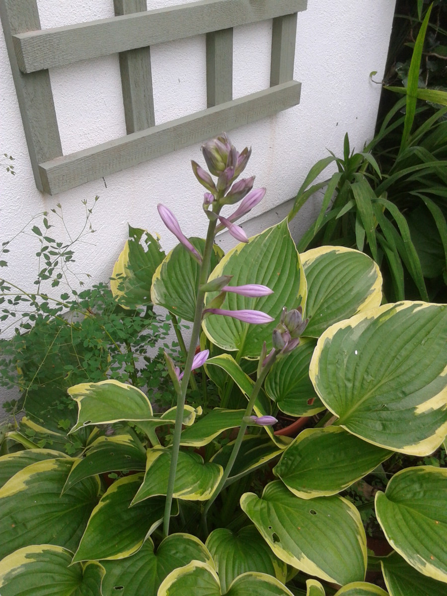 Hostas are mainly popular for their decorative leaves.