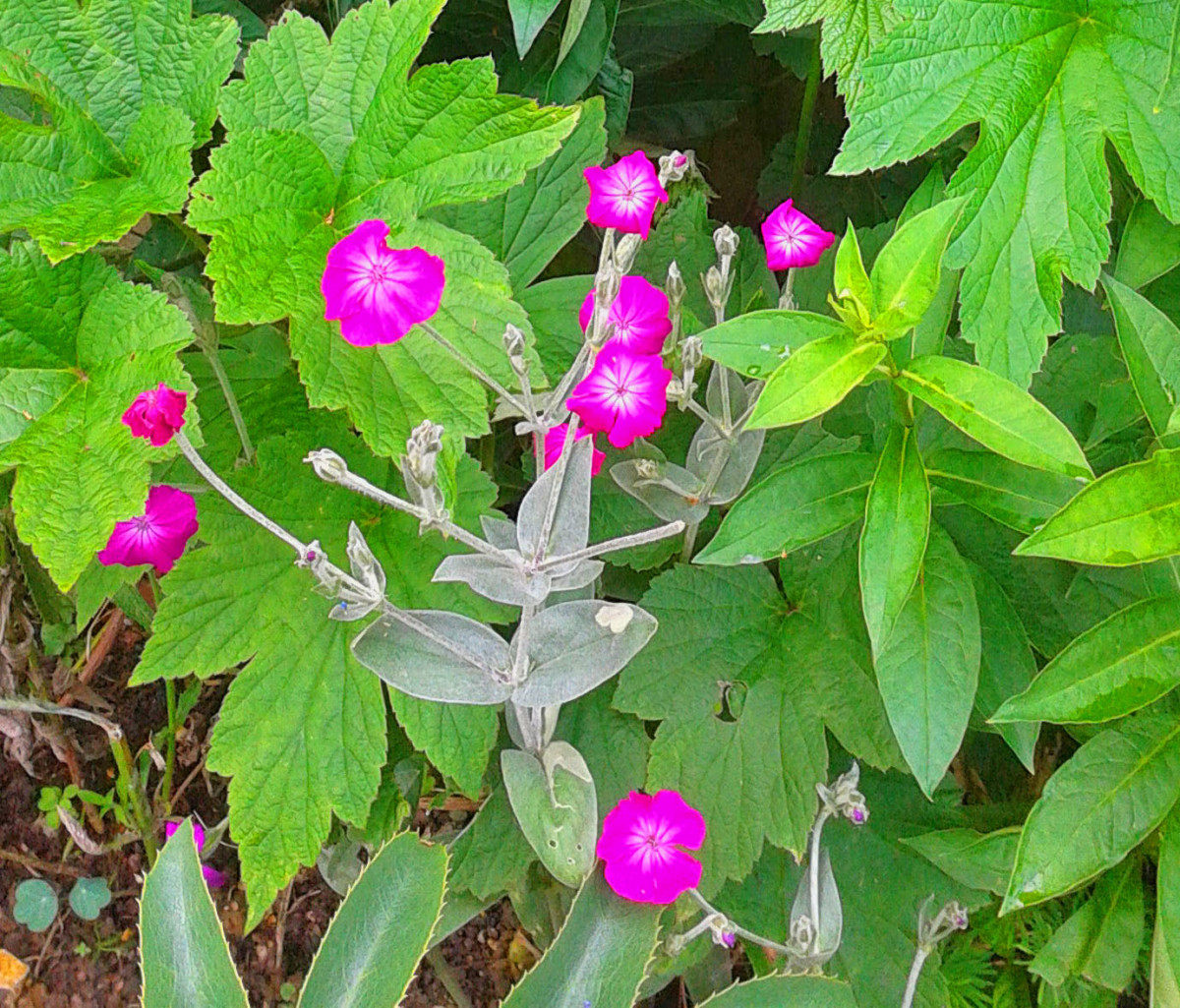 10 mauve and purple flowers for your garden dengarden lychnis or rose campion mightylinksfo
