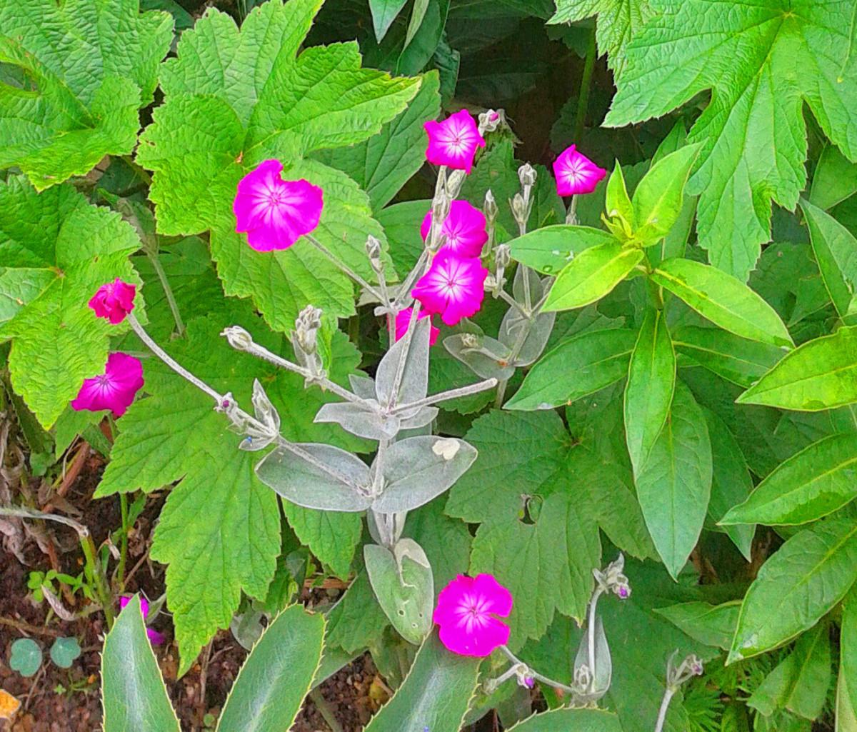 Lynchnis coronaria or rose campion.