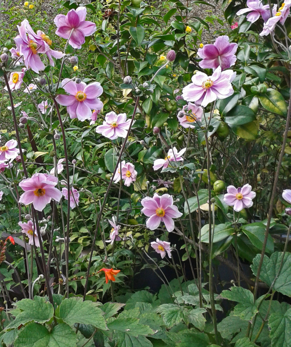 Anemone Japonica can spread quickly through suckers and self-seeding. So keep an eye on their growth—unless you want them to take over your whole garden.
