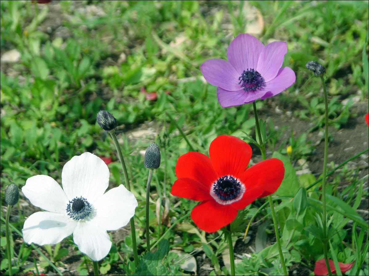 Anemone de Caen come in various brilliant hues of red, pink, purple and white.