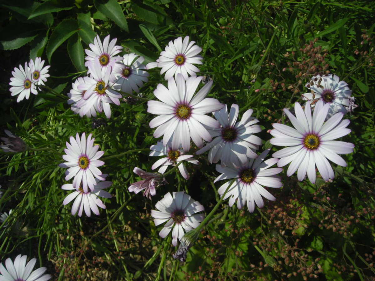 African Daisies are long-flowering plants, beginning in June and continuing on to October.
