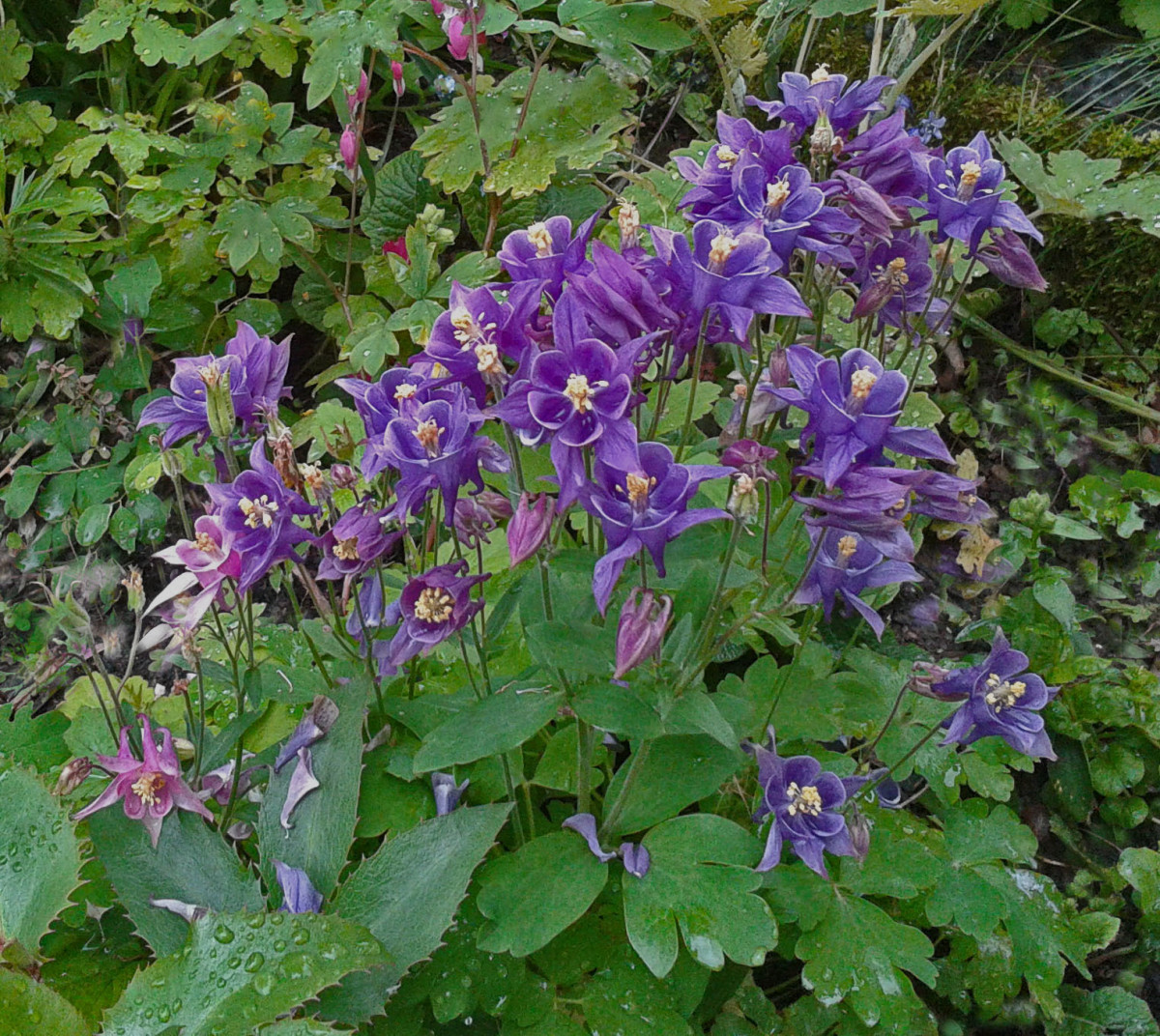 Aquilegia have delicate, bell-shaped flowers and attractive foliage.