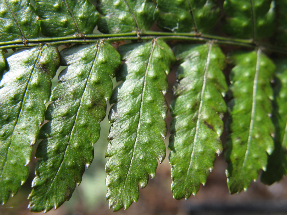 Buckler Fern are yet another shade-tolerant plant that you can grow in your garden.