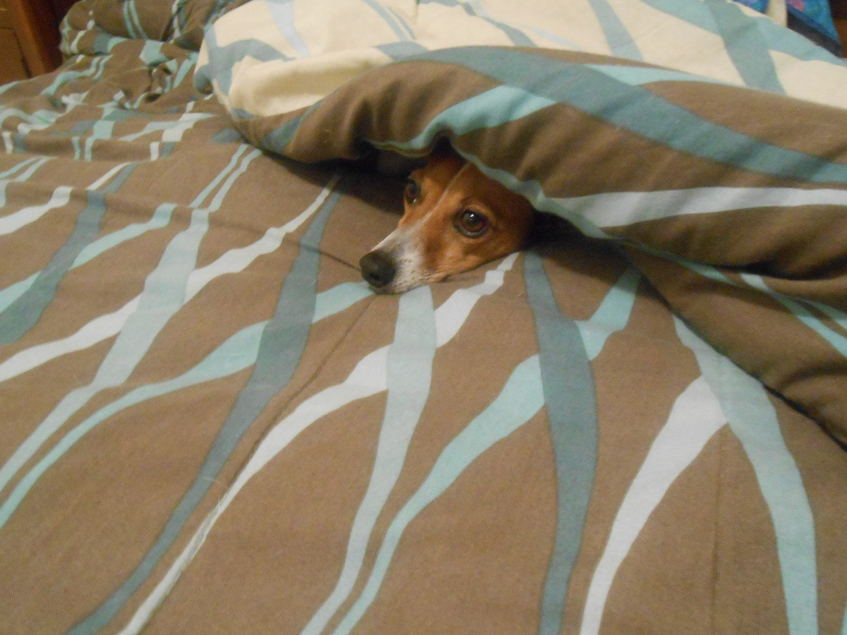Lurking in the blankets waiting to attack the next person who dares to walk by the front of the house.