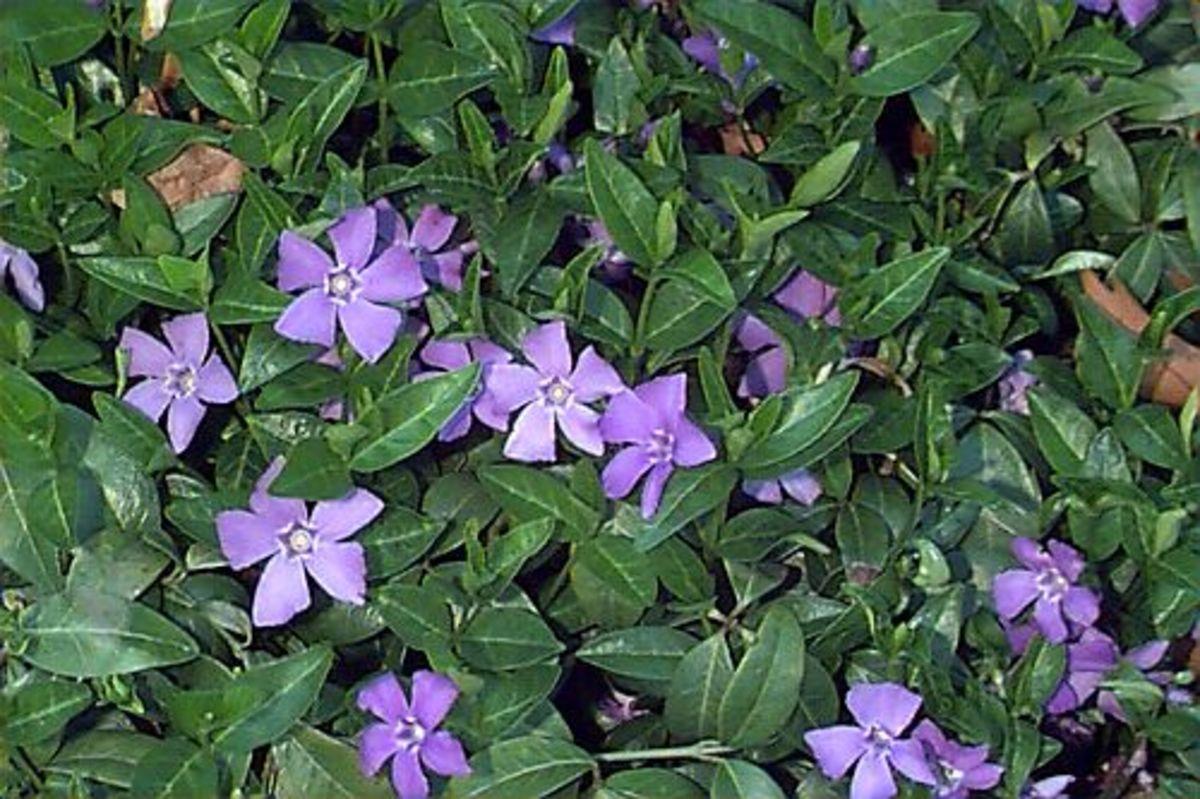 Vinca minor (periwinkle), a poisonous plant