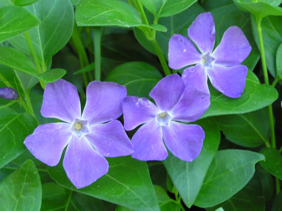 Vinca major (periwinkle), a poisonous plant. It looks like Vinca minor, but has larger leaves and flowers