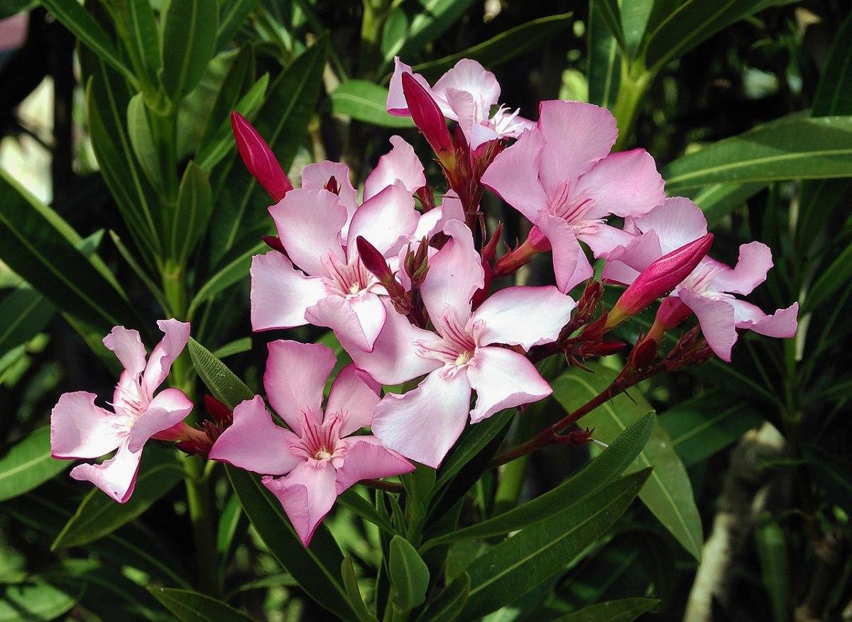 Oleander: poisonous plant