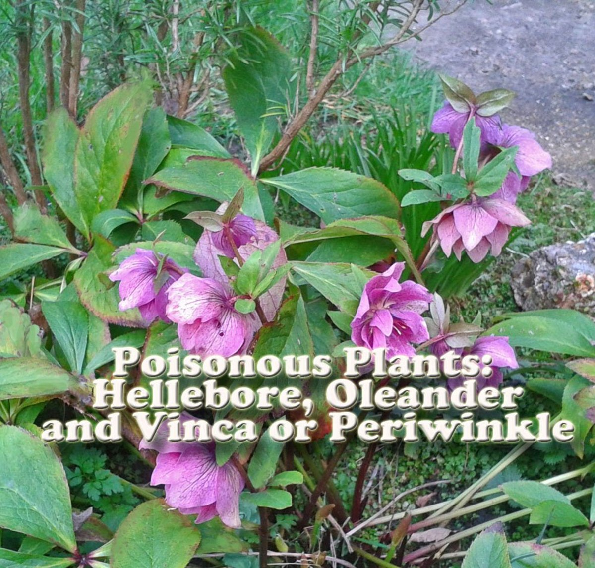 Poisonous Plants: Hellebore, Oleander, and Vinca or Periwinkle