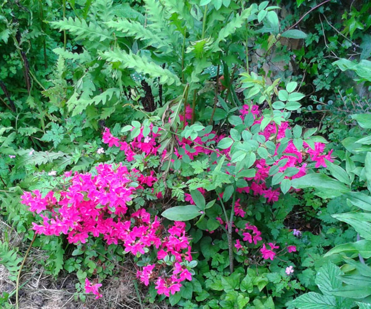 Poisonous Plant Azalea