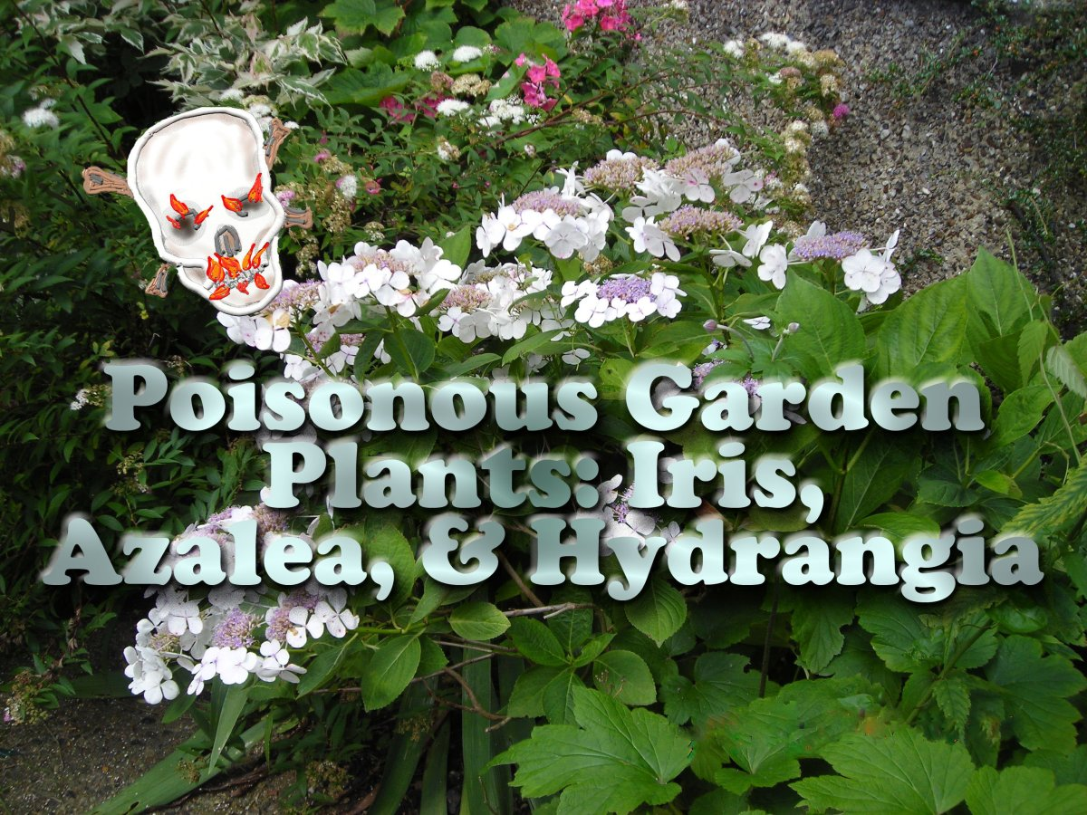 Poisonous Garden Plants: Iris, Azalea, and Hydrangea