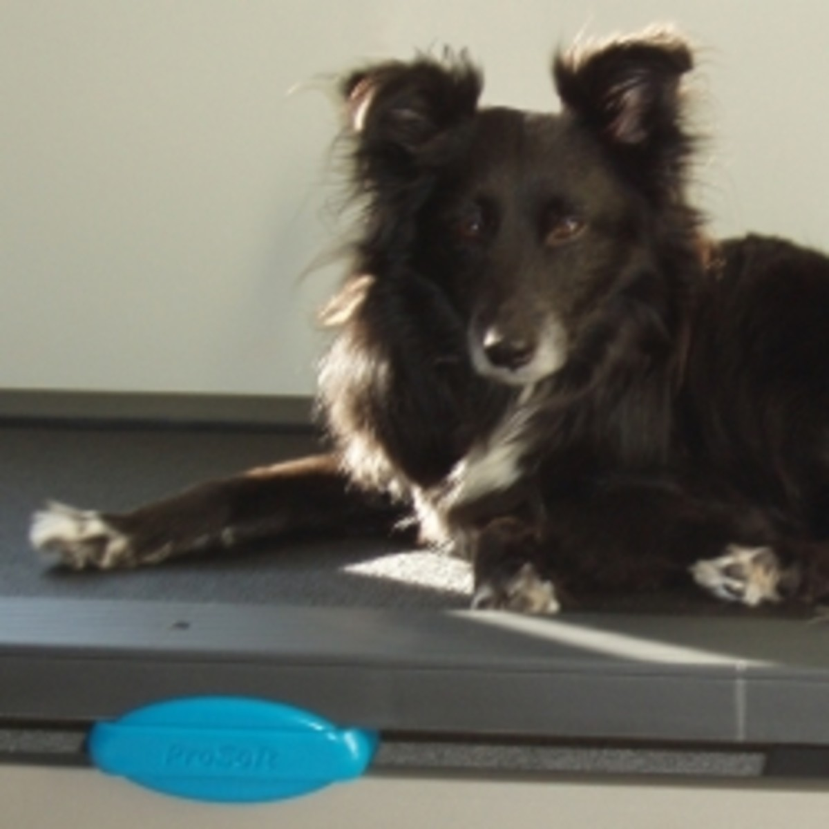 Relaxing between laps on Mum's treadmill.