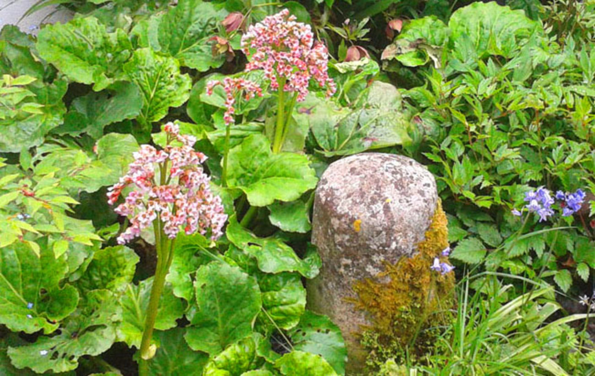 Bergenia and Bluebells