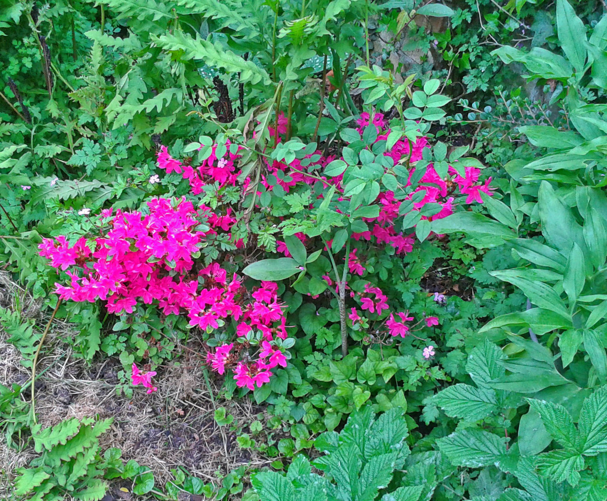 Azalea ia a shade-tolerant plant that flowers in the spring.
