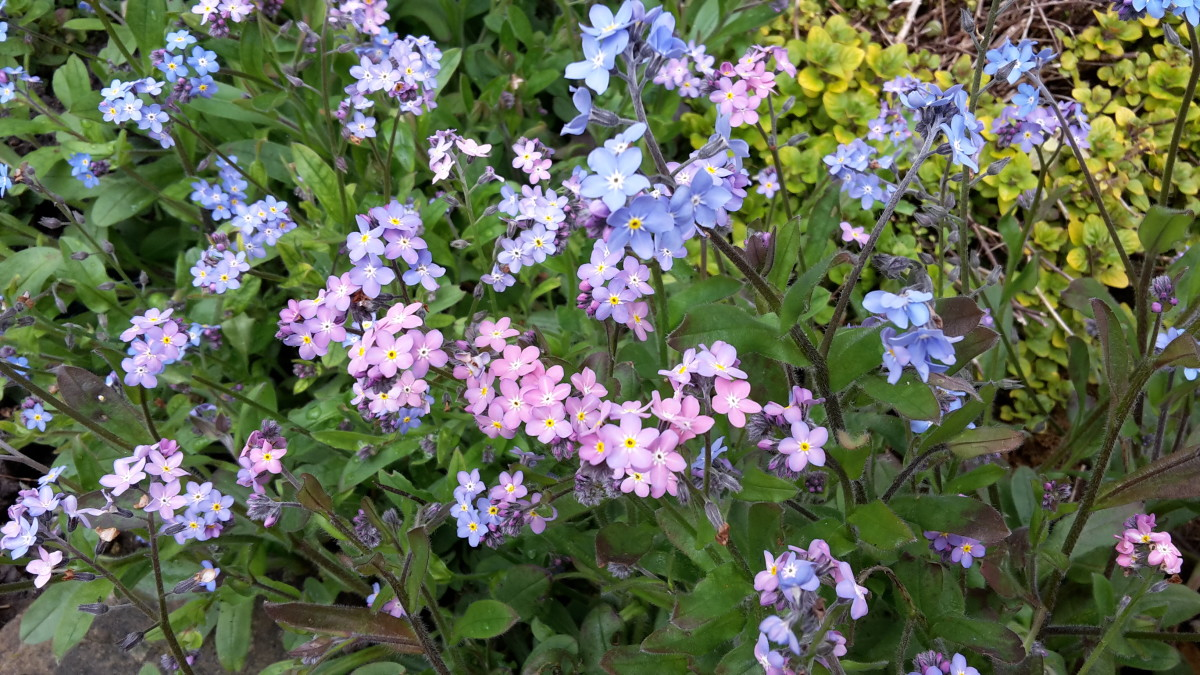 Forget-me-nots are very prolific, and seed themselves abundantly, flowering in spring.