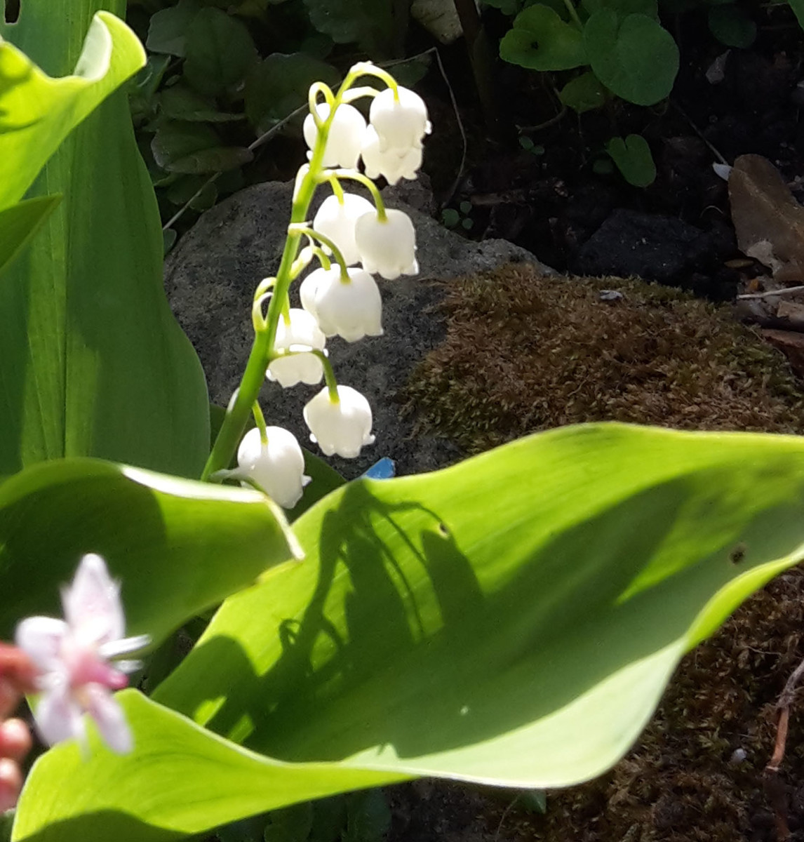 Poisonous Plants: Lily of the Valley, Poison Ivy, and Foxglove (Digitalis)