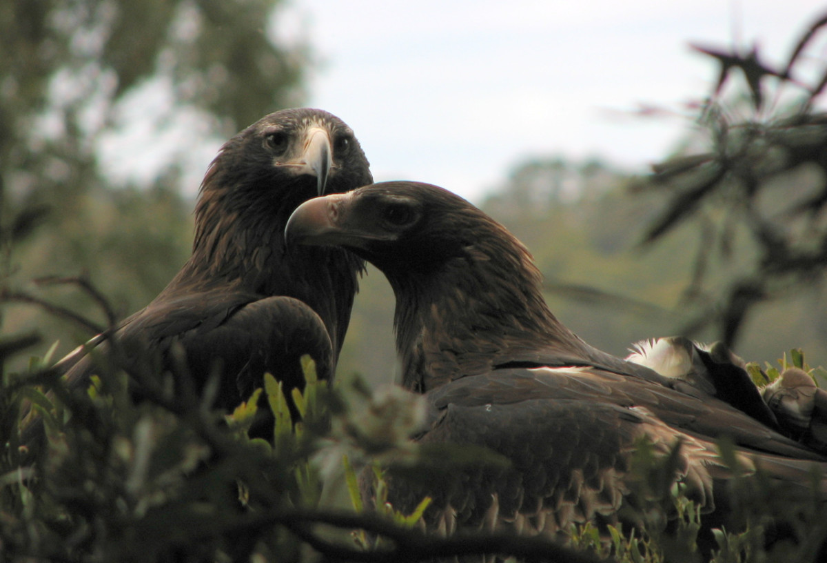 A Mating Pair of Tasmanian Wedge-Tailed Eagles in Their Nest