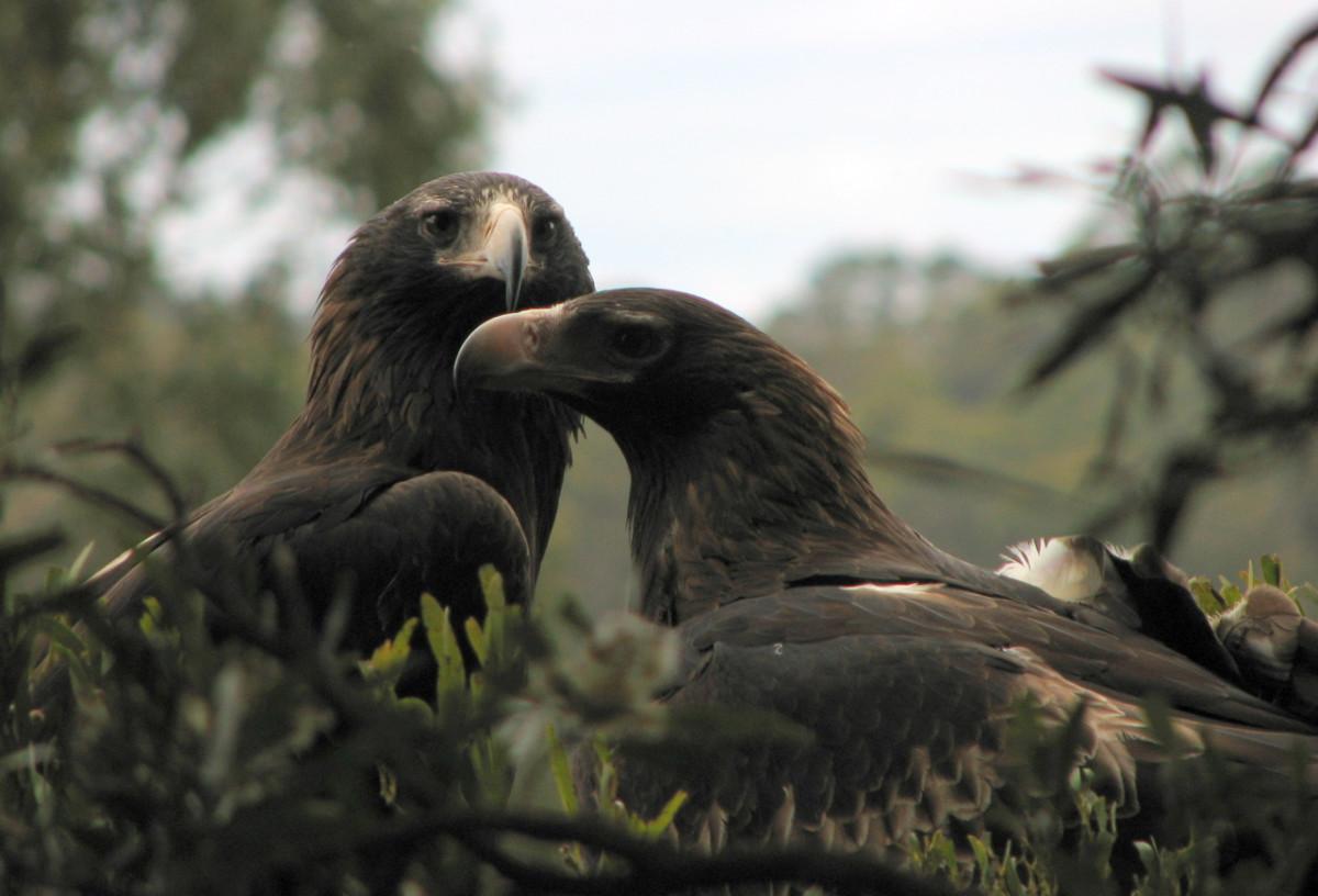 Tasmanian Wedgetailed Eagles