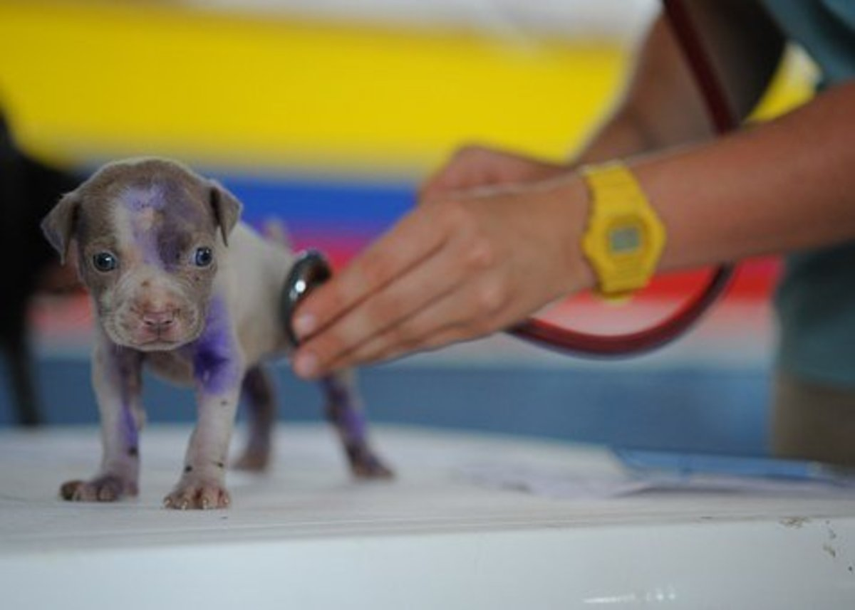 A puppy receiving treatment from a vet. The stereotypical image we all have as being the normal daily activity at a veterinary practice.