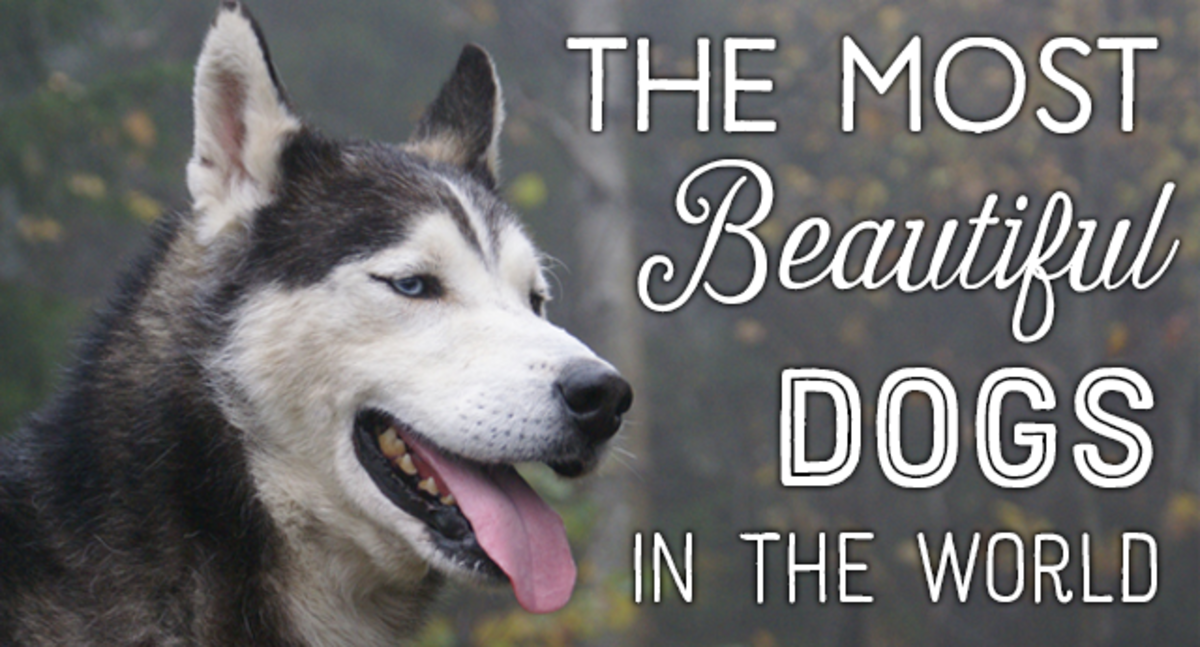 A list of the most beautiful dog breeds in the world, including images of each.