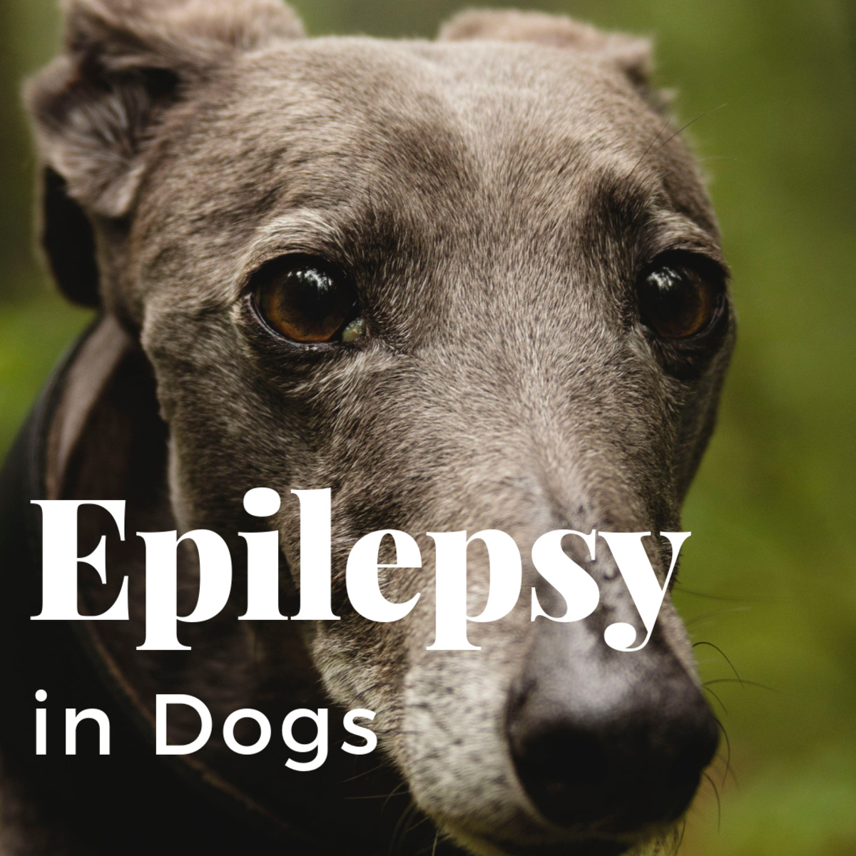 Epilepsy in Greyhounds