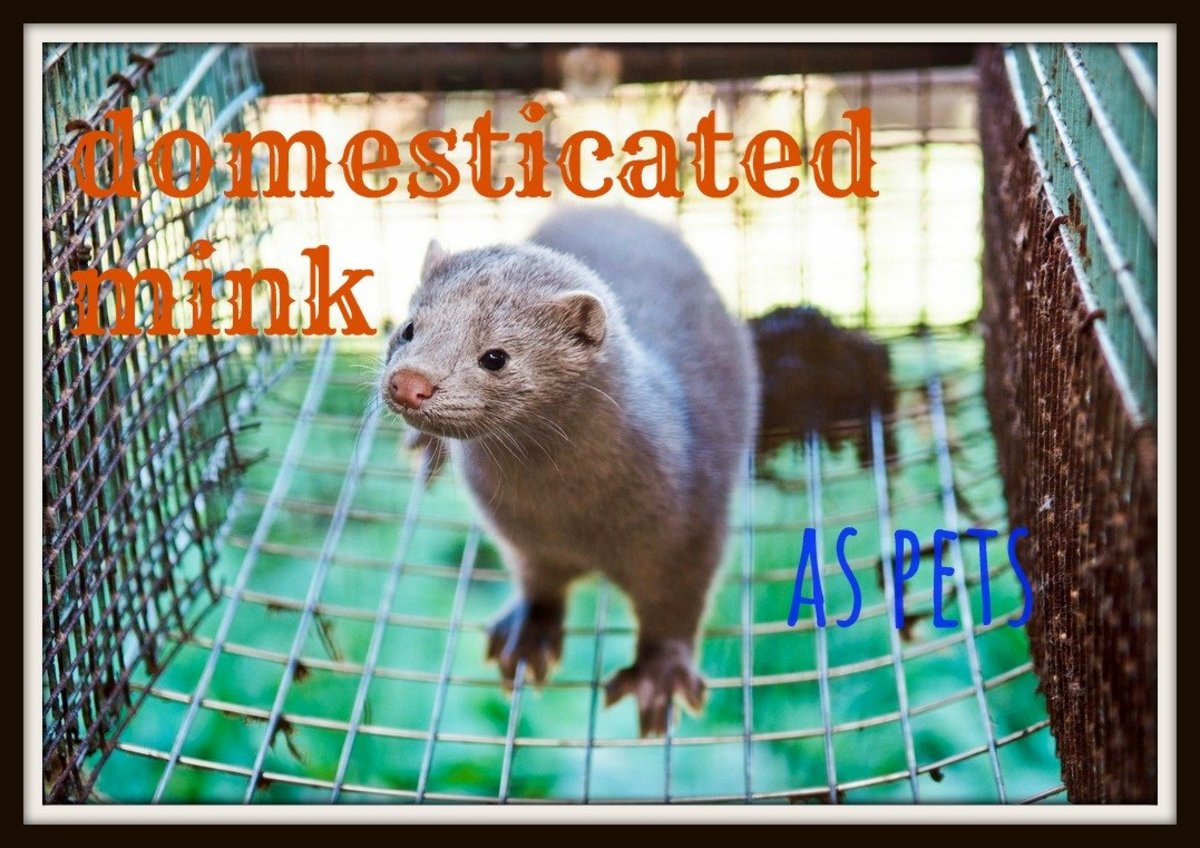Domesticated Minks as Pets