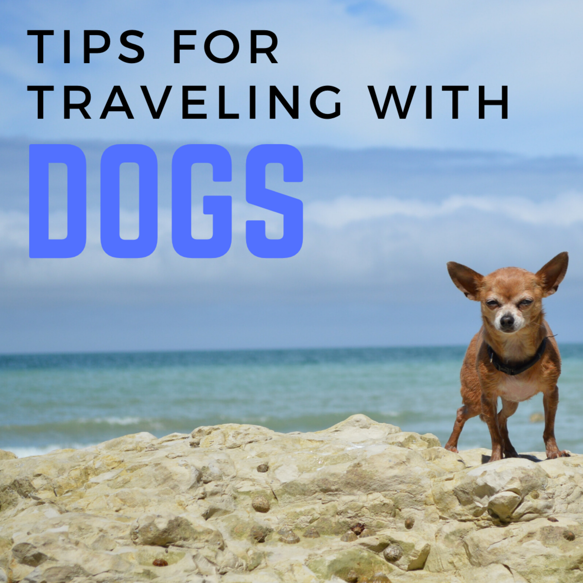 Personal Tips for Traveling With Chihuahuas