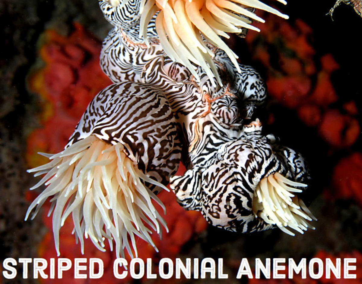 Striped Colonial Anemone