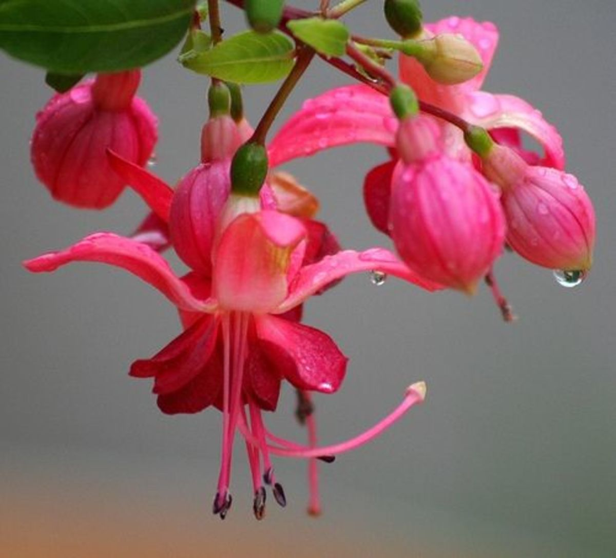 Fuchsia plant care guide dengarden hardy fuchsia plant fuchsia plant buying tips mightylinksfo