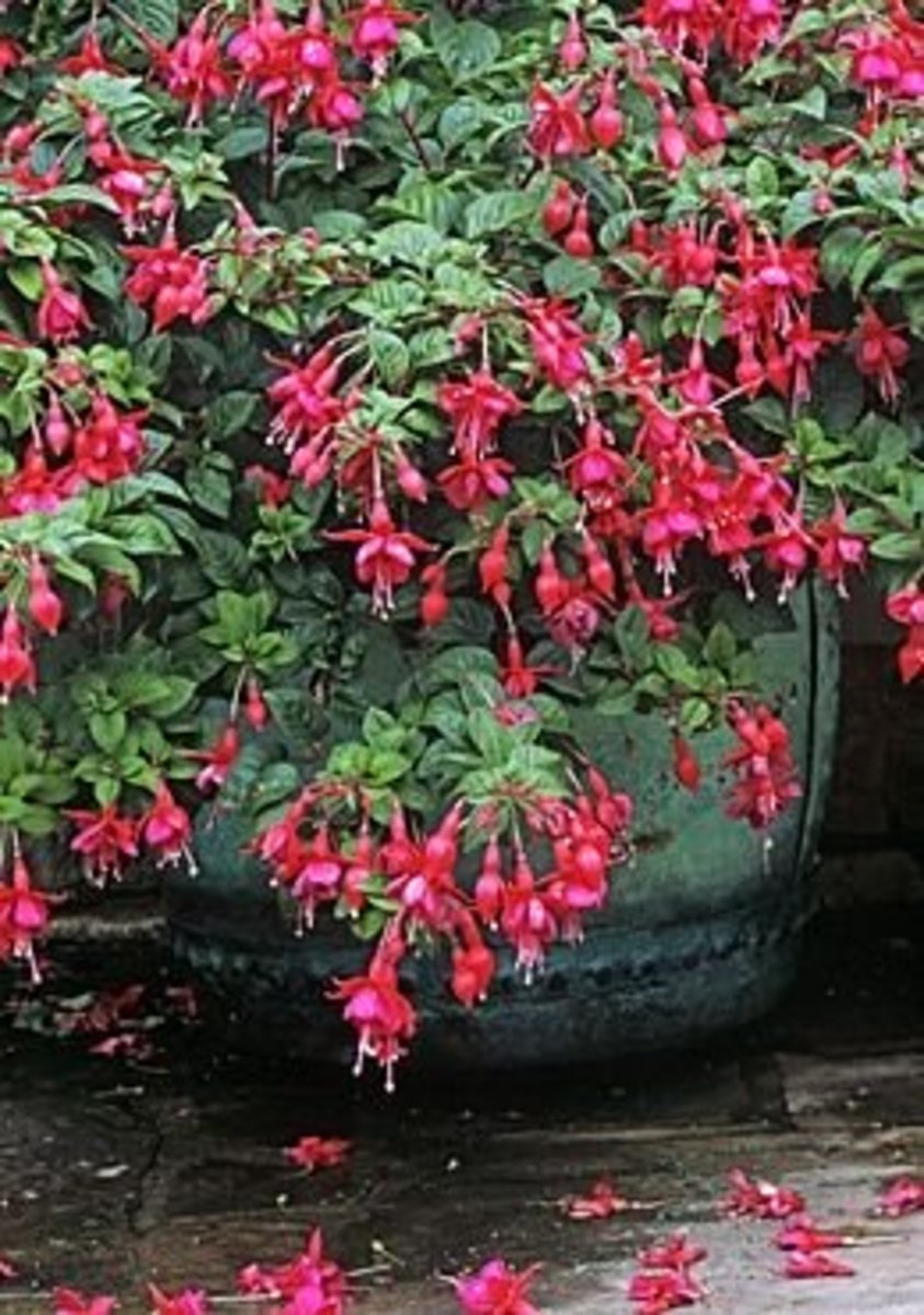 fuchsia-plant